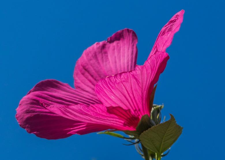 swamp-hibiscus-174016_1920